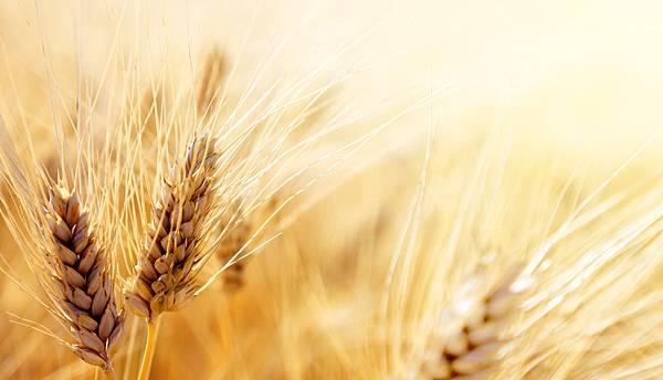 bigstock-Wheat-field-44126500