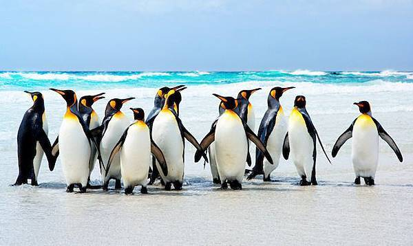 king-penguins-on-the-beach