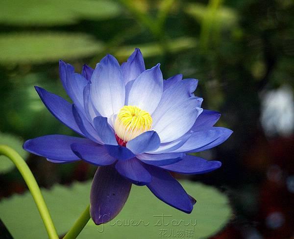 Blue Lotus Flower wallpaper 10