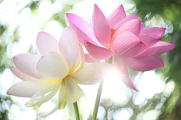 lotus-flowers-at-sunrise