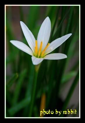 白色葱兰花