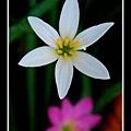 白色葱兰花02