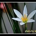 白色葱兰花03
