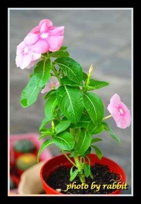 开花的日日春03