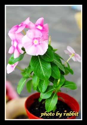 开花的日日春04