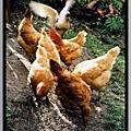 看图说画(23) : 鸭立鸡群不孤单