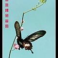 看图说画(24)-蝶舞飞扬笑春风-02