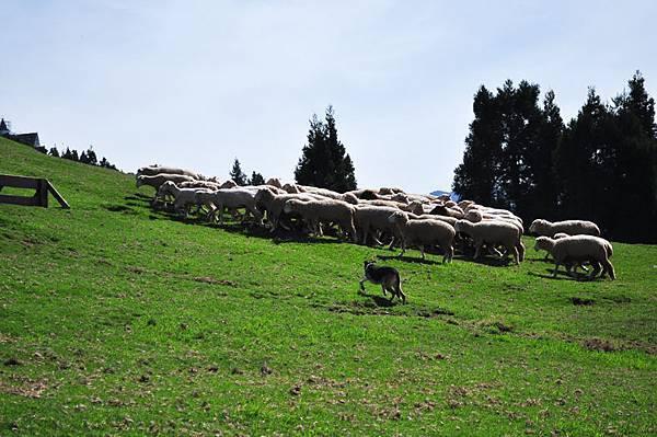 牧羊犬.jpg