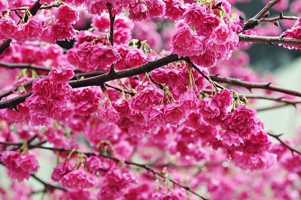 芝山岩櫻花