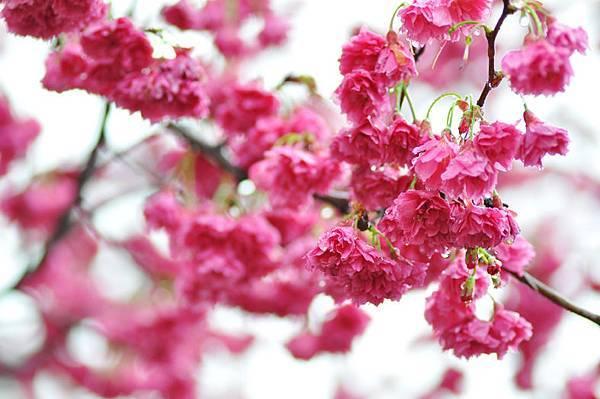 芝山岩櫻花2