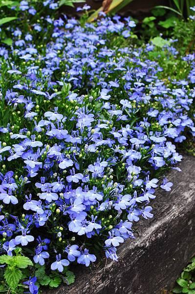 台中千樺花園花草7