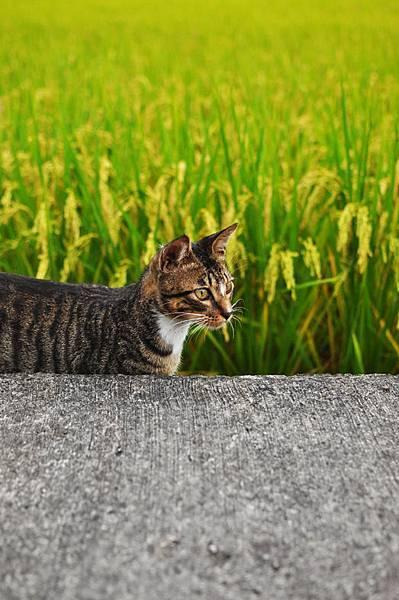 白襪虎斑小棕貓1