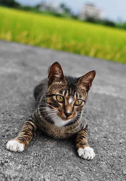 白襪虎斑小棕貓2