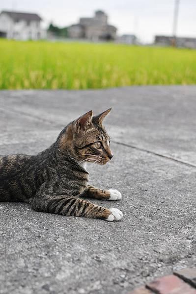 白襪虎斑小棕貓3