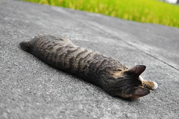 白襪虎斑小棕貓4