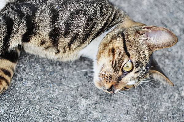白襪虎斑小棕貓5