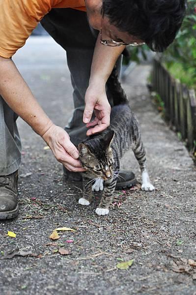 白襪虎斑小棕貓7