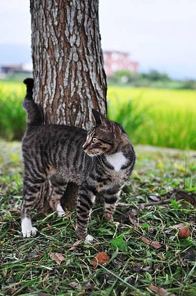 白襪虎斑小棕貓8