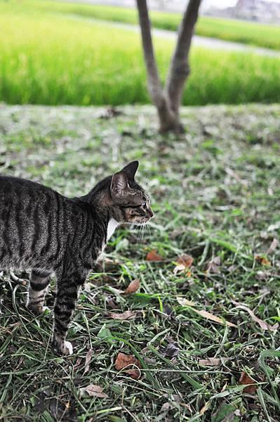 白襪虎斑小棕貓9