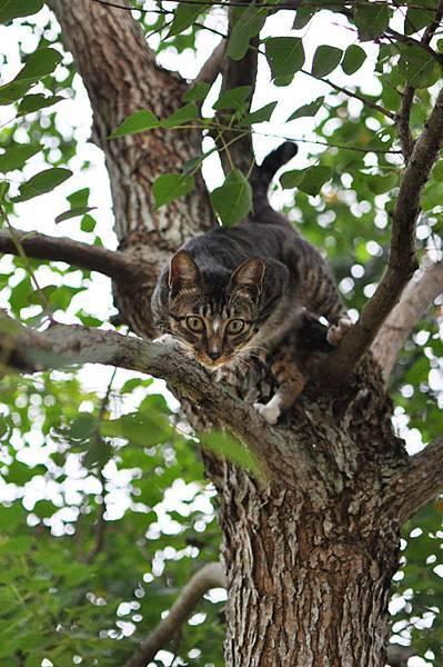 白襪虎斑小棕貓10