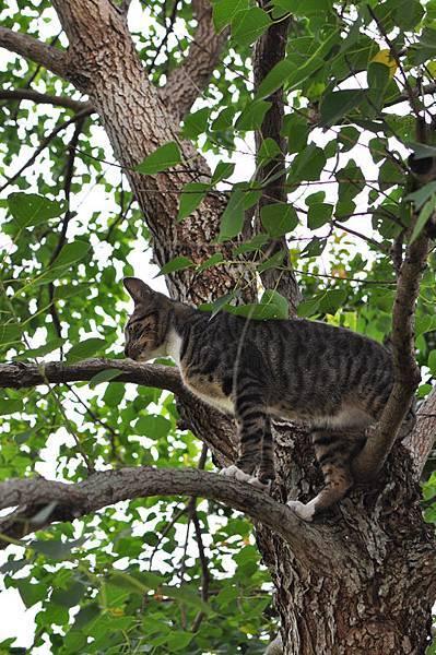 白襪虎斑小棕貓11