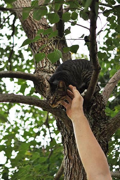 白襪虎斑小棕貓12