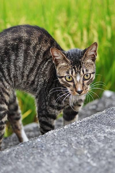 白襪虎斑小棕貓防禦模式