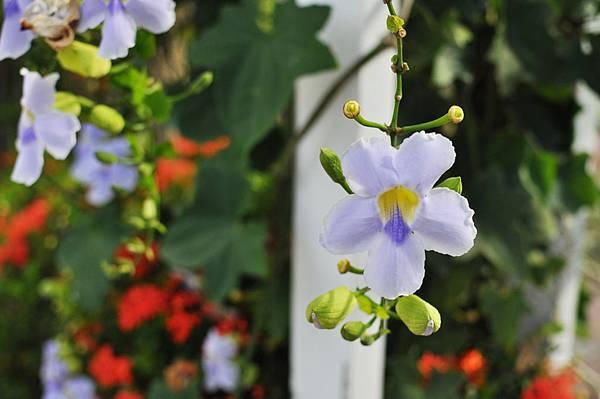 柯林湧泉花朵1