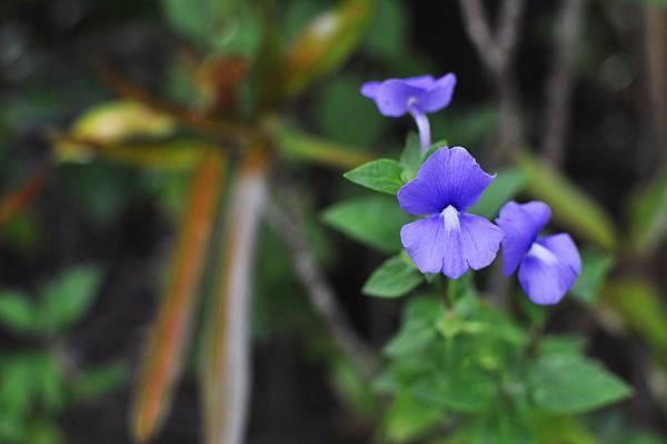 柯林湧泉花朵3