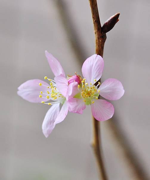 粉紅吉野櫻1