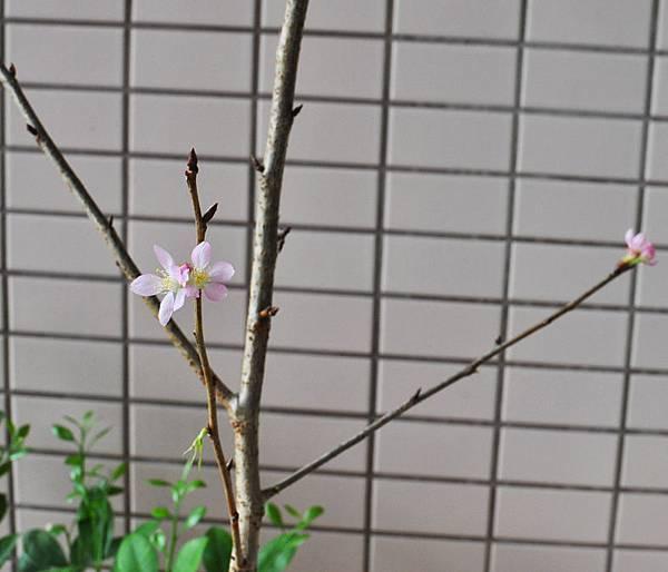 粉紅吉野櫻2