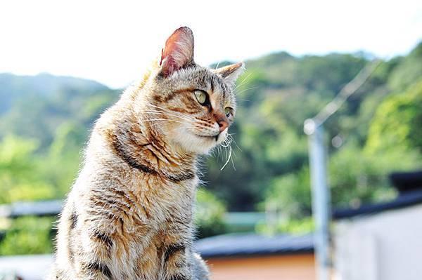侯硐貓村7