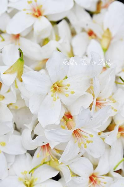 五月雪-桐花1