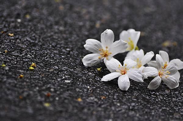 五月雪-桐花4