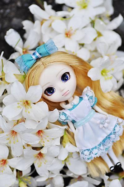 五月雪-桐花8
