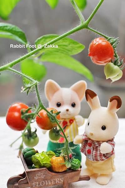 蕃茄收成樂