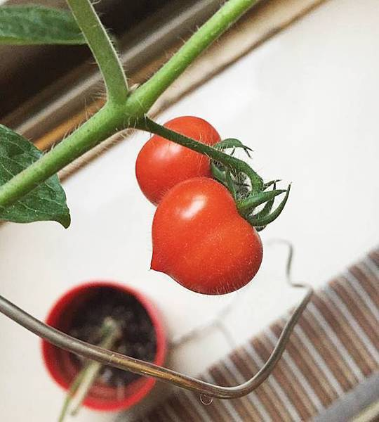 心型蕃茄植栽.jpg