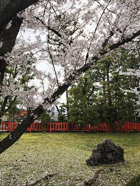 落櫻花.jpg