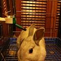 小莉  基隆山區棄兔