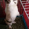 兔醬有長肉肉囉��而且還會調皮的站起來看四周狀況��打算越獄。.jpg