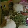 小鳳凰之鳳凰一號小青龍,今天滿三個月了,蛋蛋掉下來囉!喝足二個月母奶,營養真好,會不會太早熟啦!.jpg
