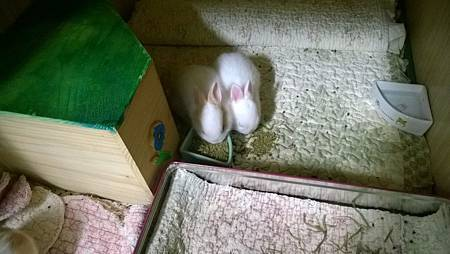 鳳凰的五寶,練習吃乾飼料,oxbow 幼兔飼料磨碎,這樣比較好咬。.jpg