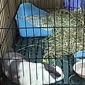 啾咪母雞蹲了2天,今天終於可以趴趴了,一趴下沒多久就睡著了~~.jpg