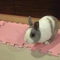 小麋鹿 - 你這隻假扮兔子的老鼠!! 還不快現出原形!!!!! 😈.jpg