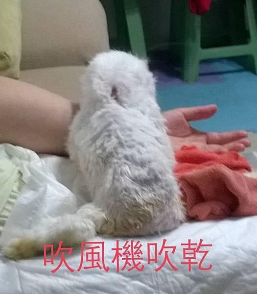 05通常吹乾時我會讓兔腳 一隻抵著我的肚子一隻用毛巾抵住。