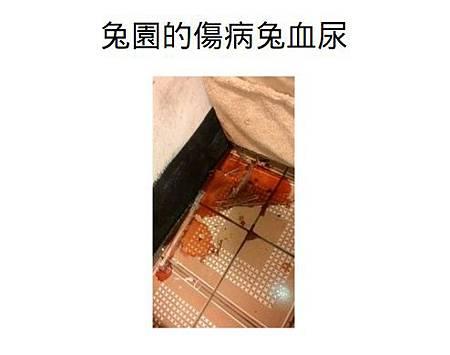 兔園的傷病兔血尿.jpg