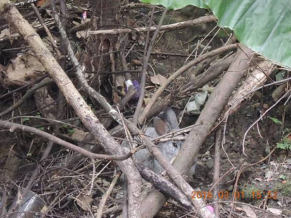 廢墟 旁邊山坡地發現兔老大在休息(鏡頭拉近.jpg