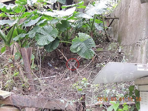 廢墟 旁邊山坡地發現兔老大在休息.jpg