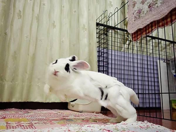 rabbit1200