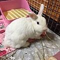 rabbit1135